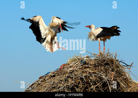 White Stork, Ciconia ciconia, Landing on Nest - Stock Photo