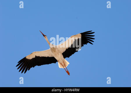 Single White Stork, Ciconia ciconia, Flying Wings Outstretched Against Clear Blue Sky - Stock Photo