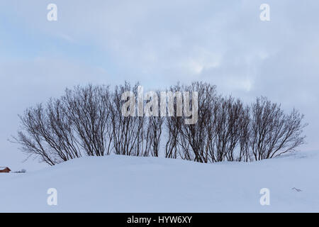 stand of trees on the shore of Lake Myvatn, Iceland - Stock Photo