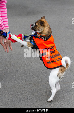 Liverpool, Merseyside, UK. 7th Apr, 2017. Doggie 'Hughes' joins the opening day fashions at Aintree. Hughes is a - Stock Photo