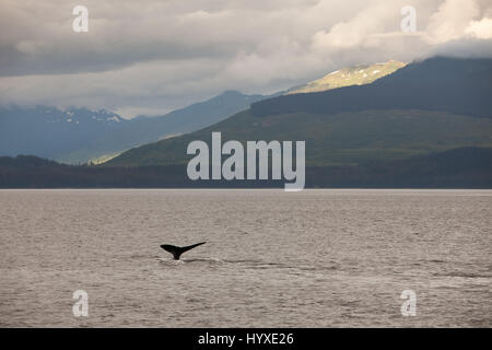 Among mountains and lush hillsides, the tail fin of a humpback whale breaches the water. - Stock Photo