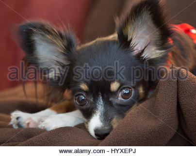 Portrait of an eight-month-old, long-haired chihuahua, looking at the camera. - Stock Photo