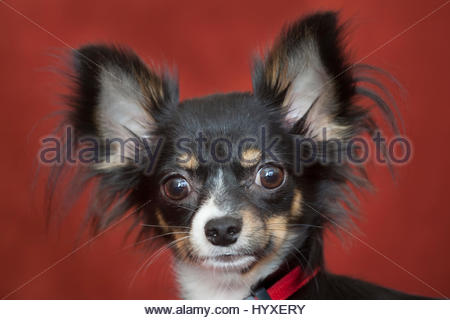 Close up portrait of an eight-month-old long haired chihuahua. - Stock Photo