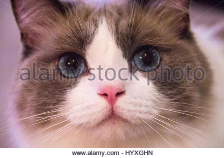 Close up portrait of a blue-eyed cat looking into the camera. - Stock Photo