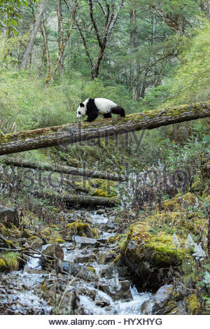 A captive born giant panda walking across a fallen tree over a stream, in the Dengsheng forest. - Stock Photo