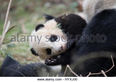 A 14-year-old, captive-born giant panda named YeYe holds her young cub. The cub will be trained to be released back - Stock Photo