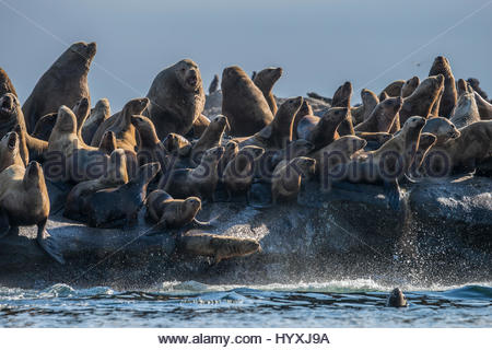 Stellar sea lions rest on Norris Rock. - Stock Photo