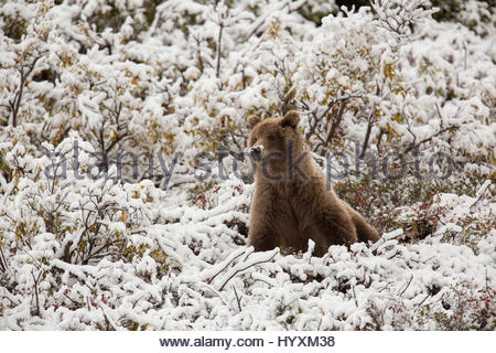 A grizzly bear mother on Polychrome Pass in Denali National Park - Stock Photo