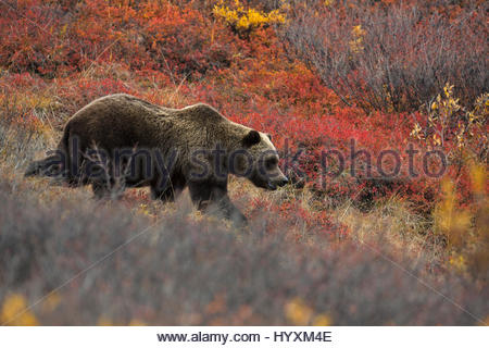 A grizzly bear in Denali National Park and Preserve. - Stock Photo