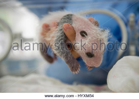 A newborn giant panda, Ailuropoda melanoleuca, in an incubator at Bifengxia Giant Panda Breeding and Research Center. - Stock Photo