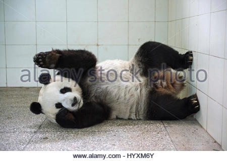 A seven-year-old giant panda is monitored after she gives birth to a baby girl at the Bifengxia Giant Panda Breeding - Stock Photo