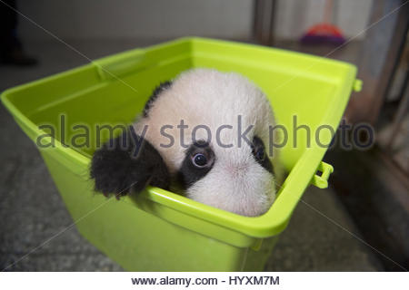 A giant panda cub gets weighed at the Bifengxia Giant Panda Breeding and Research Center. - Stock Photo