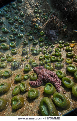 An ochre sea star, in decline due to rising sea temperatures, in a tide pool in Washington's Olympic National Park. - Stock Photo