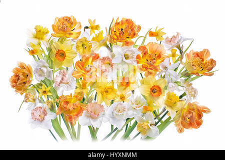 Vibrant coloured spring Tulips and Daffodil flowers arranged against a white background. - Stock Photo