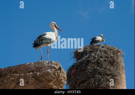 The White Storks (Ciconia ciconia) nesting on the walls of El Badi Palace in Marrakech (Marrakesh), Morocco - Stock Photo