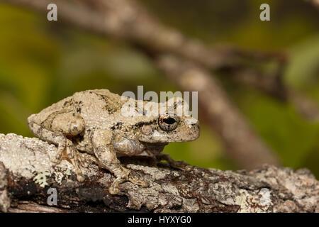 Southern gray tree frog - Stock Photo