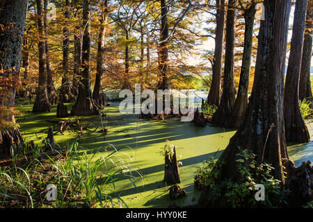 Bald Cypress Trees growing in a swamp in Arkansas, show signs of autumn. - Stock Photo