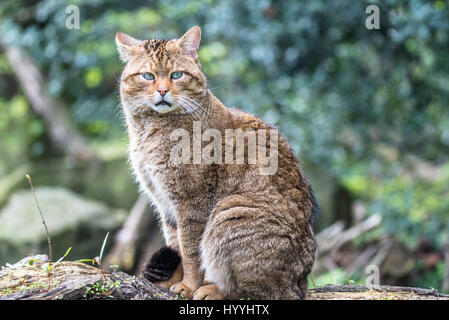 European wild cat - Stock Photo