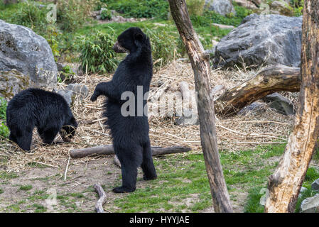 European black bear standing on its hind legs - Stock Photo