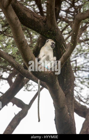 Blue ball monkey sitting in tree in Lake Manyara National Park, Tanzania, Africa. - Stock Photo