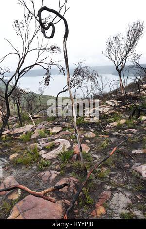 Bushfire Landscape (aftermath) Barrenjoey Headland Palm Beach New South Wales Australia - Stock Photo