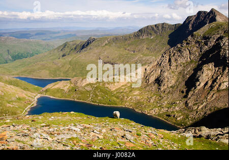 A sheep grazes high on the slopes of Snowdon mountain, overlooking lakes and valleys of Snowdonia National Park in Wales.
