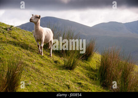 A sheep grazes on the grassy slopes of Snowdon mountain in Snowdonia National Park, Wales.