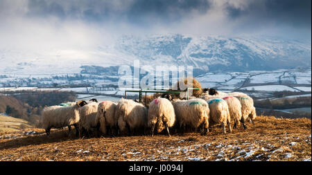 A flock of sheep feeding on hay during winter weather on Latrigg mountain in England's lake district. - Stock Photo