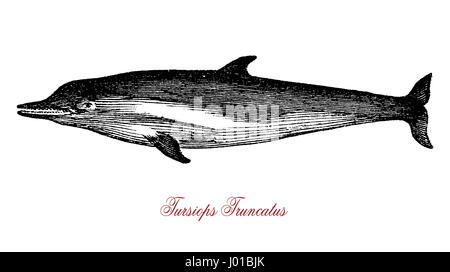 The Tursiops truncatus (bottlenose dolphin) is the most well-known species from the family Delphinidae. It has a - Stock Photo