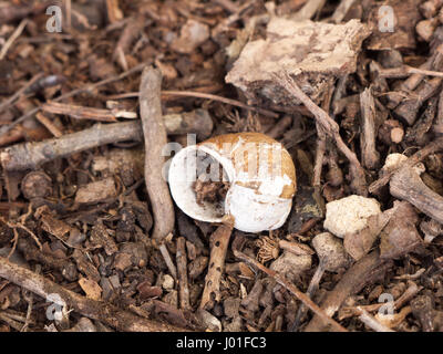 An empty and discarded snail shell on the floor of the forest with bits of twigs and rocks - Stock Photo