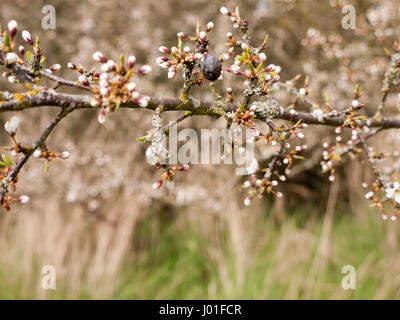 A macro of a dead berry attahed to a branch with buds - Stock Photo