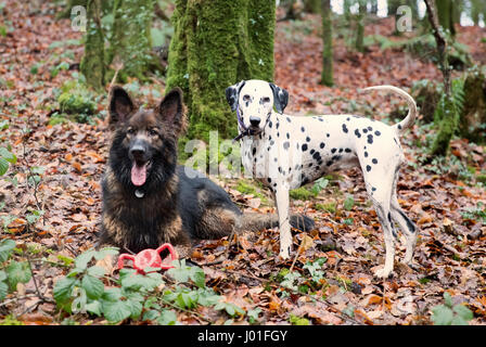 Dalmatian and German Shepherd Dog in the forest in winter - Stock Photo