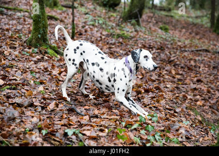 Dalmatian doing a play bow to start a game. She is wearing a collar in the woods. - Stock Photo