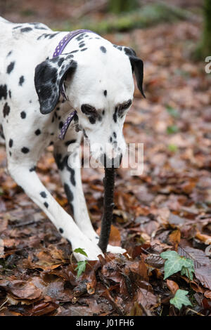 Dalmatian dog having fun playing with a stock in the forest, wearing a collar - Stock Photo