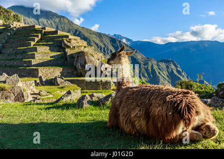 Lama sitting on the grass and looking at terrace of Machu Picchu - Stock Photo