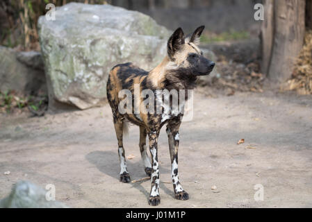African wild dog scanning its surroudnings - Stock Photo