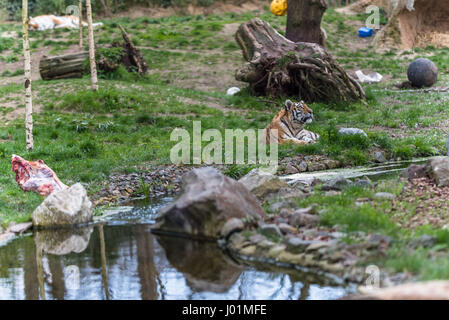 Siberian tiger with an animal carcass relaxing in the sun - Stock Photo