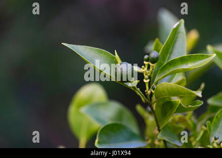 Young green kumquat fruit growing on a backyard tree in Sydney - Stock Photo