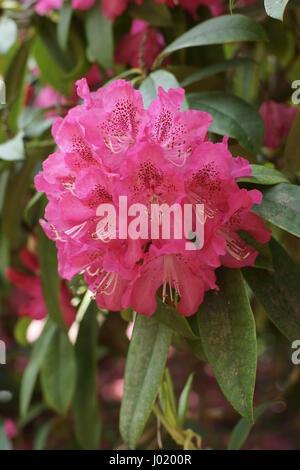 Rhododendron 'Cynthia' - Stock Photo