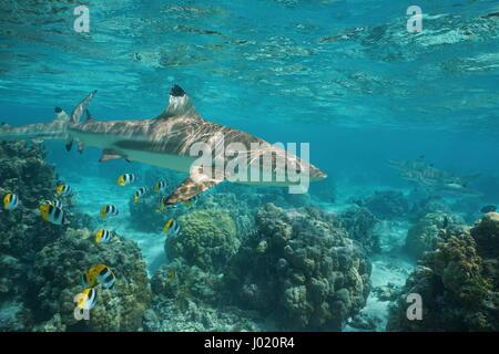 Blacktip reef shark underwater ocean with tropical fish butterflyfish and corals in a lagoon of a south Pacific - Stock Photo
