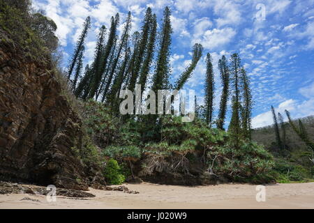 New Caledonia pines and pandanus on a beach shore in Bourail, Grande Terre island, south Pacific - Stock Photo
