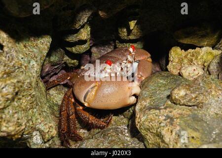 A red-eyed rock crab, Eriphia sebana under rocks on the seashore, Huahine island, Pacific, French Polynesia - Stock Photo