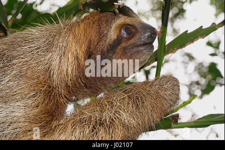 Brown throated three toed sloth head profile, wild animal in the jungle, Costa Rica, Central America
