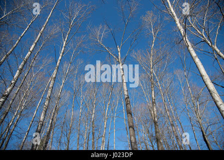 A stand of bare winter aspen trees reach towards the blue sky. - Stock Photo
