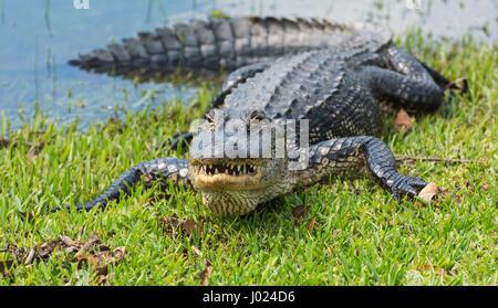 Louisiana, Avery Island, Jungle Gardens, American Alligator (Alligator mississippiensis) - Stock Photo