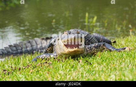 Louisiana, Avery Island, Jungle Gardens, American Alligator (Alligator mississippiensis) - Stock Photo