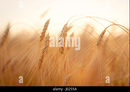 Beautiful nature sunset landscape. Ears of golden wheat close up. Rural scene under sunlight. Summer background - Stock Photo