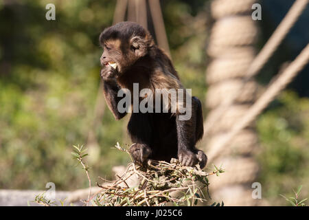 Small capuchin monkey eating and sitting on the edge of a tree. Cute animal shot close up. Picture with natural - Stock Photo
