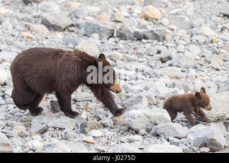Red Colored Black Bear mother and baby cub playing in the lake on a hot summer day, Jasper National Park Alberta - Stock Photo