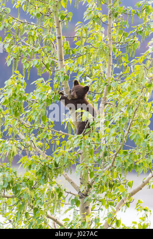 Red Colored Black Bear mother and baby cub climbing in a tree top in the summer time, Jasper National Park Alberta - Stock Photo